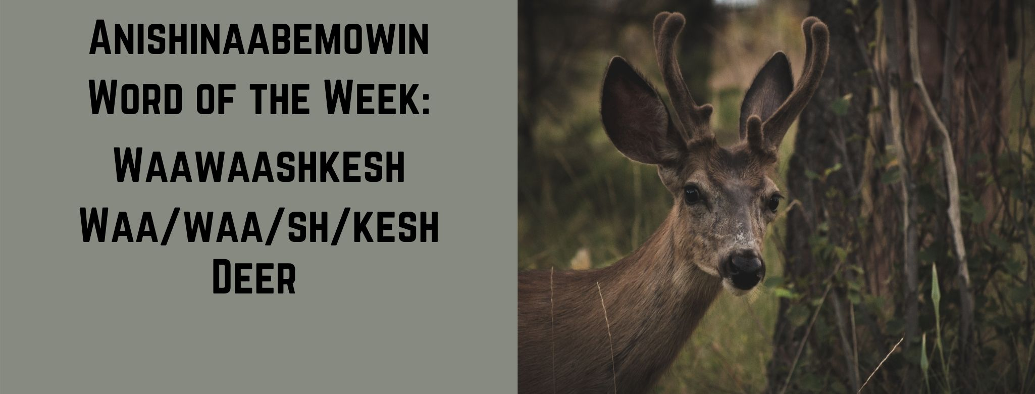 Anishinaabemowin word of the week Waawaashkesh Deer